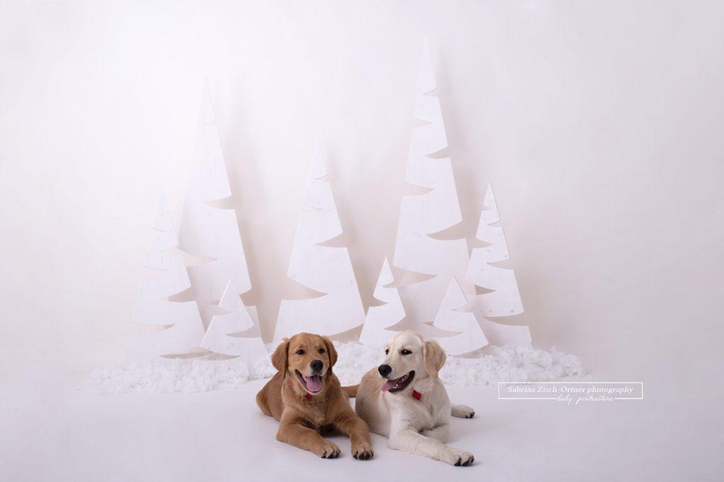 zwei Hunde, genauer gesagt zwei Golden Retriever einer in Braun und einer in Blond, liegen brav auf dem Boden vor den weißen Weihnachtsbäumen, im Fotoshooting bei den Weihnachtsminisessions 2019 in Wien